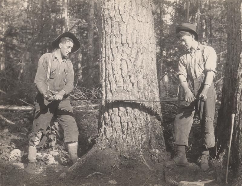 RR Sallows photo cutting pine